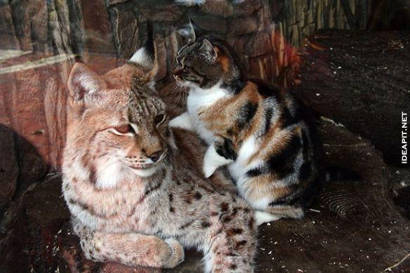 圣彼得堡动物园的欧洲猞猁(又称山猫)的笼子里面,闯进了一只迷路的